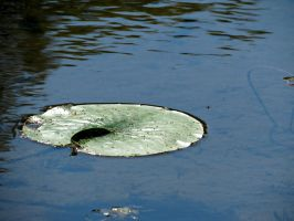 Lily Pad by Michies-Photographyy
