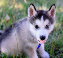Husky Puppy Named Bjorn by firzen1