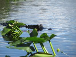 Gator in the Glades by Sorath-Rising
