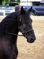 Friesian 27 by EquineStockImagery