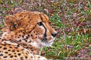 cheetah by brijome
