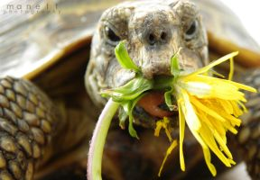 Tortoise with soft-thistle by Manett-art