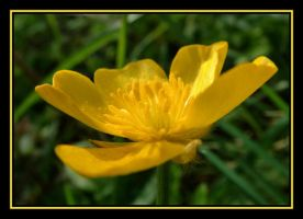 Buttercup by Pjharps