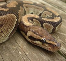 A Ball Python by nyxilyn