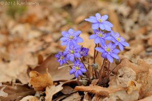 Hepatica by Dark-Raptor