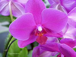 Purple orchid by Mogrianne