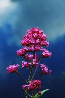 Red Valerian, Against  a Cloudy Sky by EarthHart