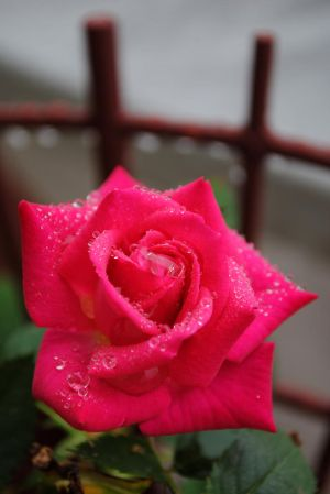 rose and rain by LucieG-Stock