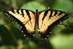 Eastern Tiger Swallotail by based-on-fact