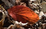 Fallen Leaf 10-28-14 by Tailgun2009