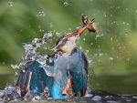 Emeregence - common kingfisher by Jamie-MacArthur