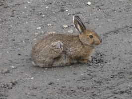 Snowshoe Hare 1 by ShadowsStocks