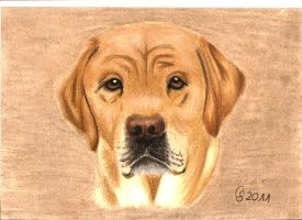 blond Labrador Lara by Vitadog