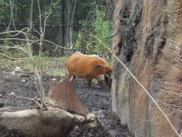 Red River Hogs 1 by Dandric101