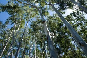 Eucalyptus Trees by EyeInFocus