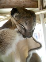 Ahsa Cougar Pelt NOT FOR SALE 3 by lamelobo