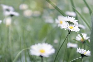 Daisies by hv1234