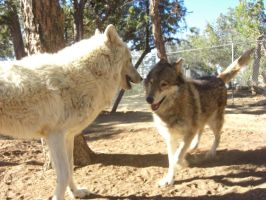 Lani and Nakota Play by Wolf-of-Samhain