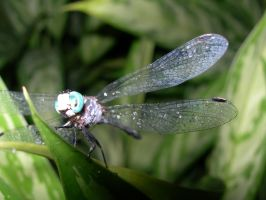 Dragonfly up close by tomegatherion