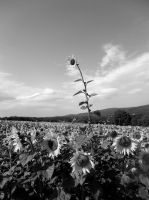 Black and White SUnflowers! by hm923