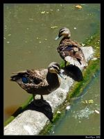 Ducks in a Row by DarthIndy