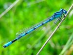 The Blue Damselfly (or young Dragonfly?) by Cloudwhisperer67
