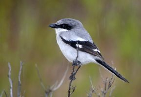 Just loving the rain - Logggerhead Shrike by Jamie-MacArthur