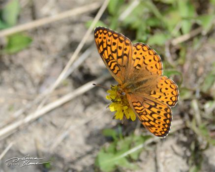 High Brown Fritillary by themanitou