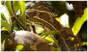 Mt Warning Carpet Python by jaydoncabe