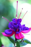 Beautiful Garden Fuchsia by theresahelmer