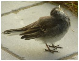 Cute wagtail (: by OwlsomeArts