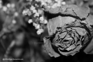Black and White Rose by W0lfieRose
