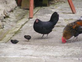 Chicken Family 01 by Axy-stock