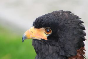 Eagle 4 by ditney