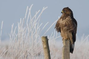Buteo buteo - Winter feeling by suiluj