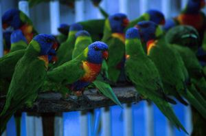 Lorikeets by O-Gosh