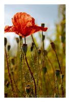 summer poppy by landscapesaxony