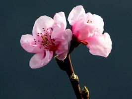 Two peach blossoms by riviera2008