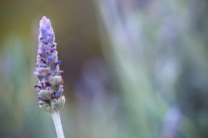 lavender flower by Lestat59