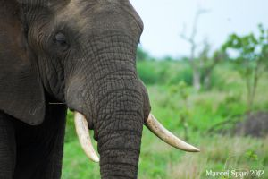 Elephant Portrait by MJWallace