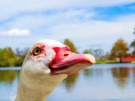 Smiling Duck by SnaRulax
