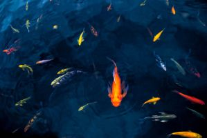 School of Koi (Natural) by Laurenel