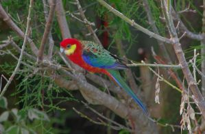 western rosella by andipics