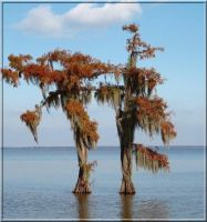 Cypress Beauty 5 by SalemCat