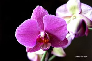 Orchid by Arto72