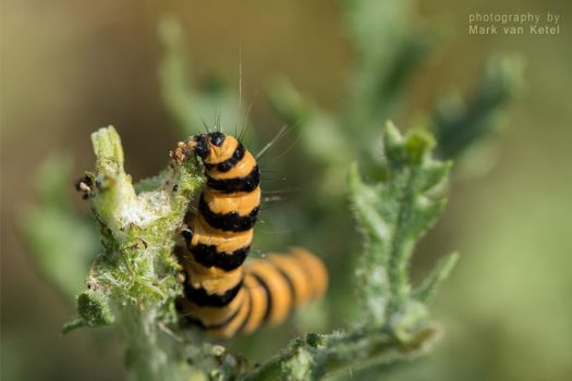 Tyria Jacobaeae (Larva) III by blizzard2006