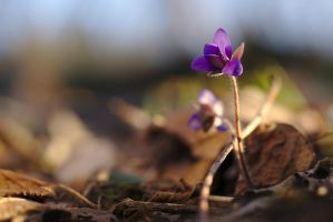 Anemone hepatica #5 by perost