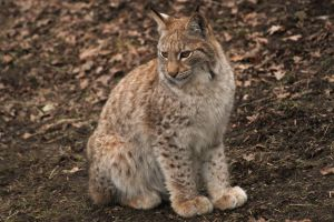 Grown Lynx Cub 2 by Fridooh