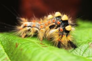 Acronicta tridens by Nitrok