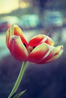 tulip by belie-photo
